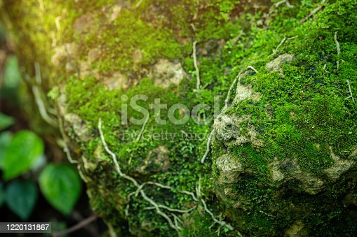 Beautiful green moss on the floor at the mangrove forest
