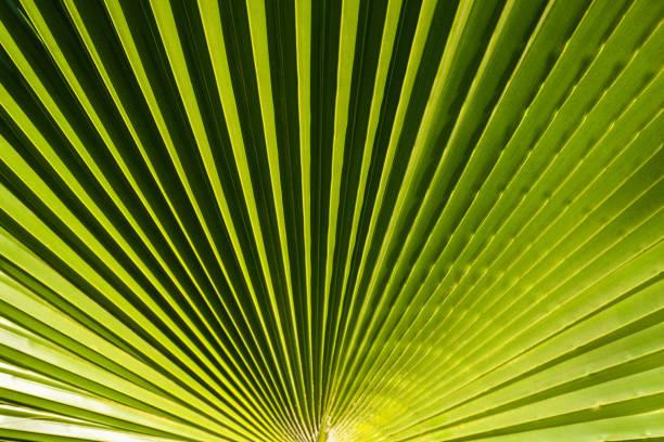 beautiful green palm tree leave texture - oleo palma imagens e fotografias de stock