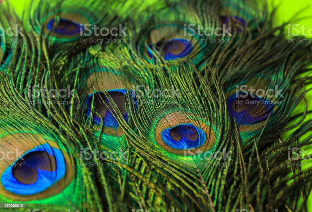 Beautiful green peacock feathers from the tail of a bird. royalty-free stock photo