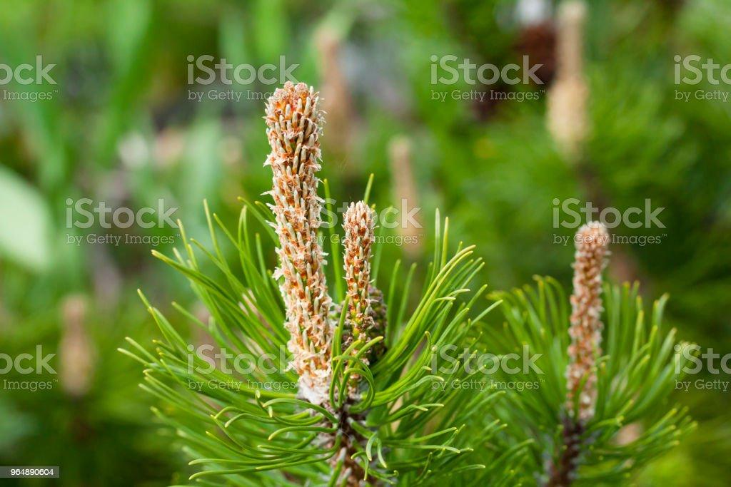 美麗的綠色松樹枝在花園裡, 宏。 - 免版稅圓錐圖庫照片