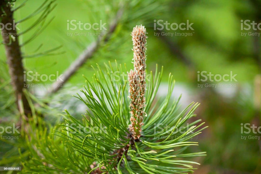 Beautiful green pine branch in the garden, macro. royalty-free stock photo