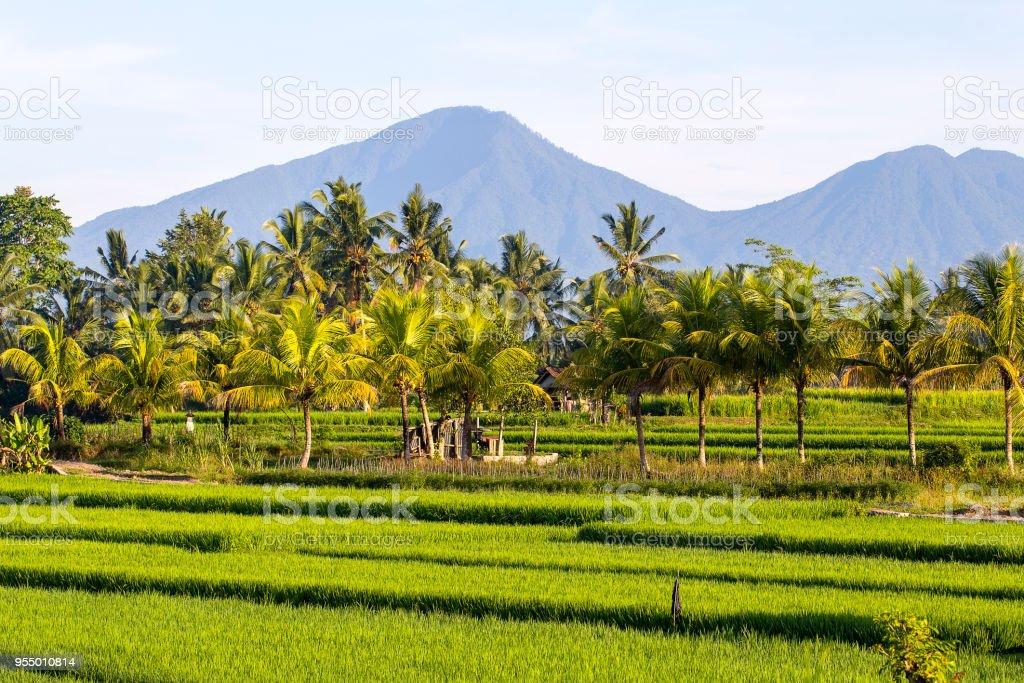 Terrazas De Arroz Verde Hermoso Volcán Y Cocoteros En La