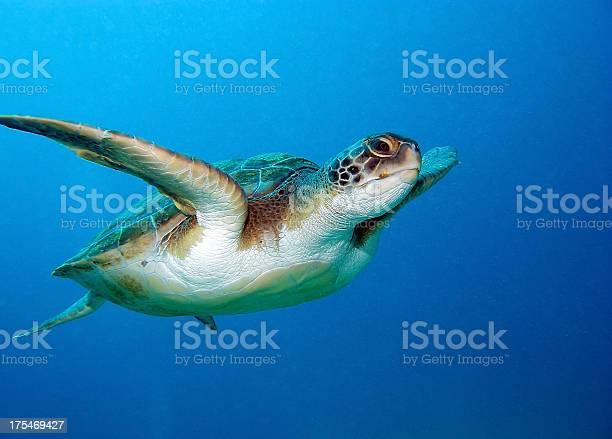 Beautiful green sea turtle going for a swim picture id175469427?b=1&k=6&m=175469427&s=612x612&h=gcwf0euk lzikwsypwycedyivumig0fxawxmukw koi=