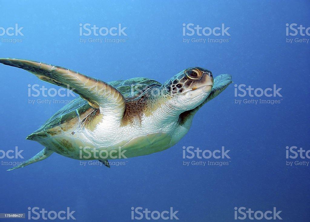 Beautiful green sea turtle going for a swim stock photo