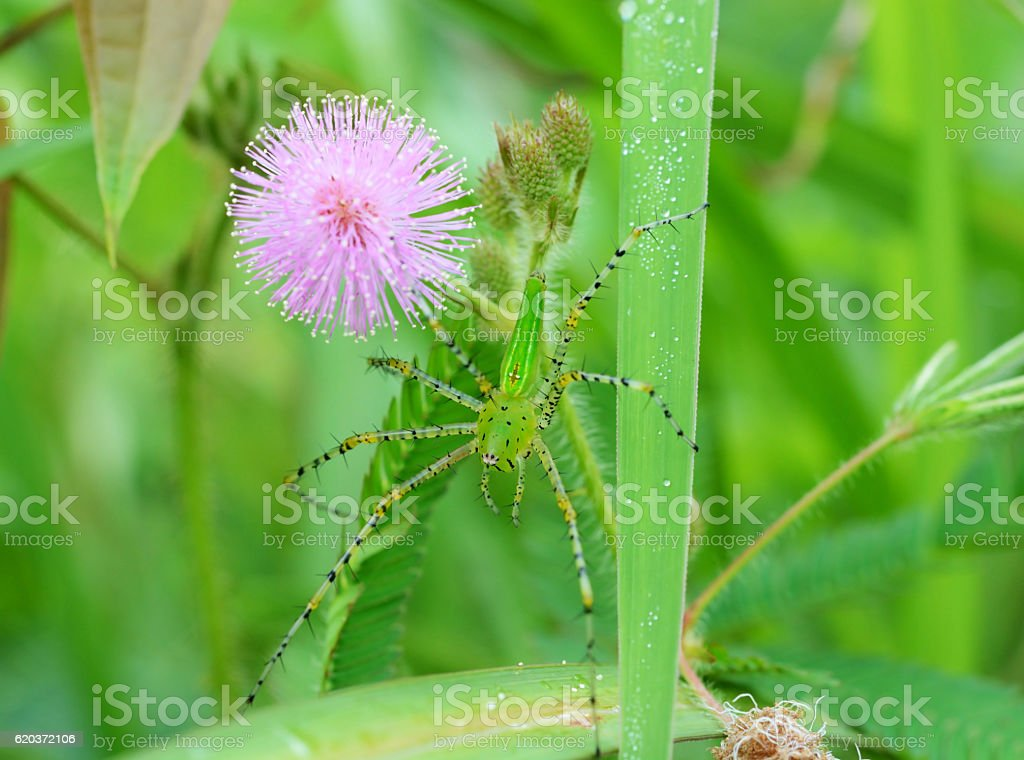 Beautiful Green spider on a green leaf zbiór zdjęć royalty-free