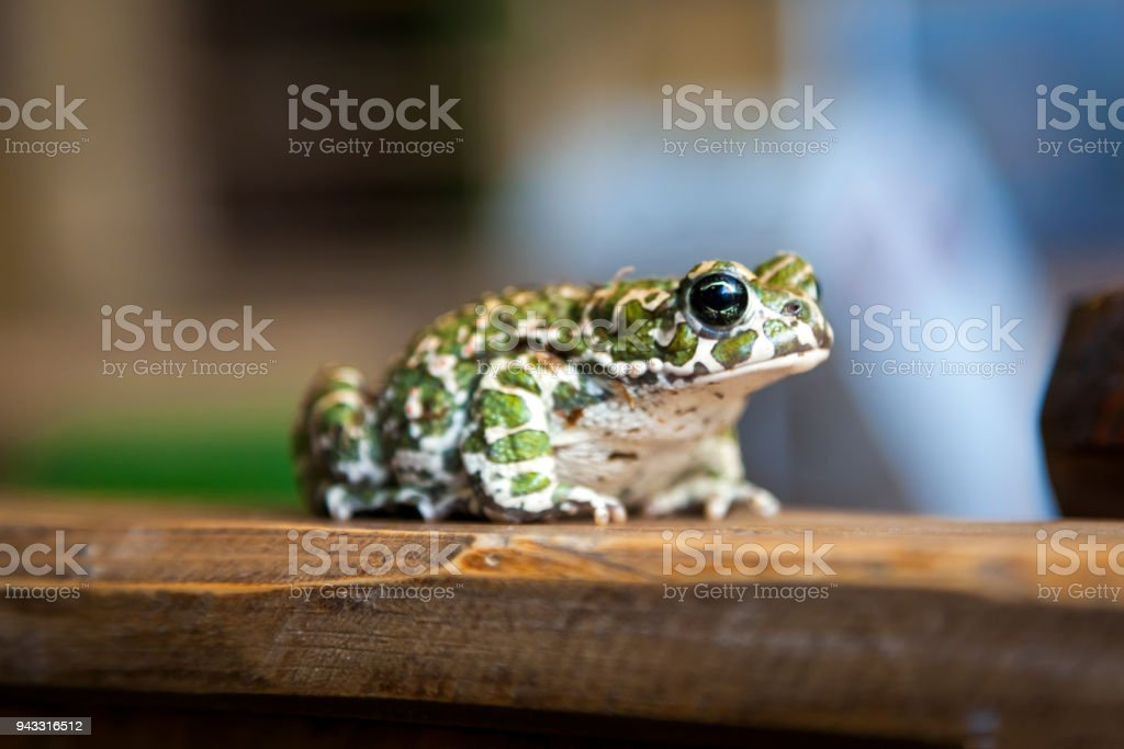 Beautiful green spotted frog stock photo
