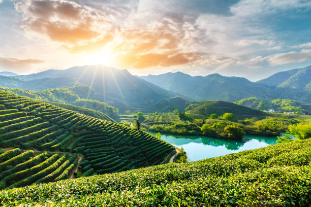 Beautiful green tea plantation natural scenery Beautiful green tea plantation natural scenery at sunrise tea crop stock pictures, royalty-free photos & images