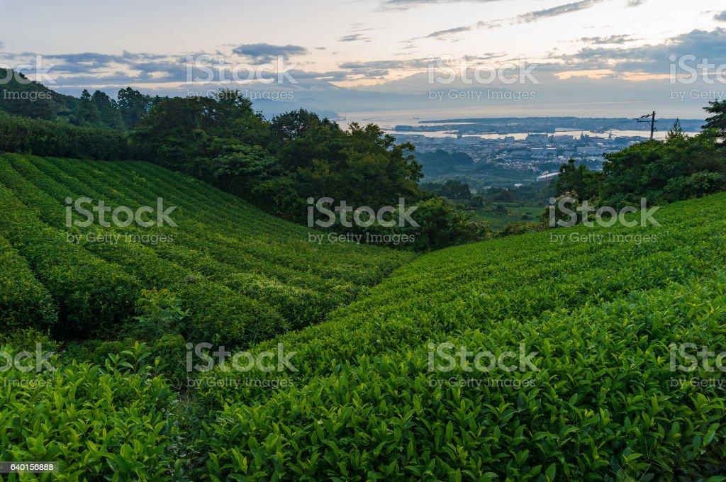 Beautiful green tea plantation on sunrise stock photo