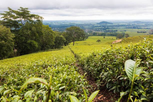 Beautiful green tea plantations of Mulanje in Malawi. stock photo