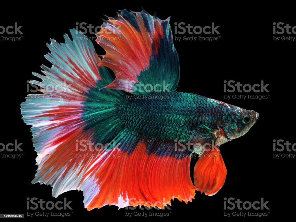 Beautiful Green Thai Fighting Fish Swimming With Long Fins And Red ...