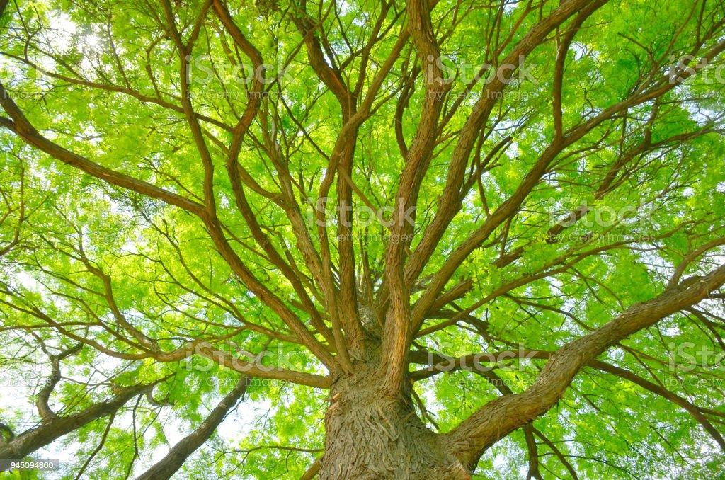 Schöner grüner Baum, von unten gesehen – Foto