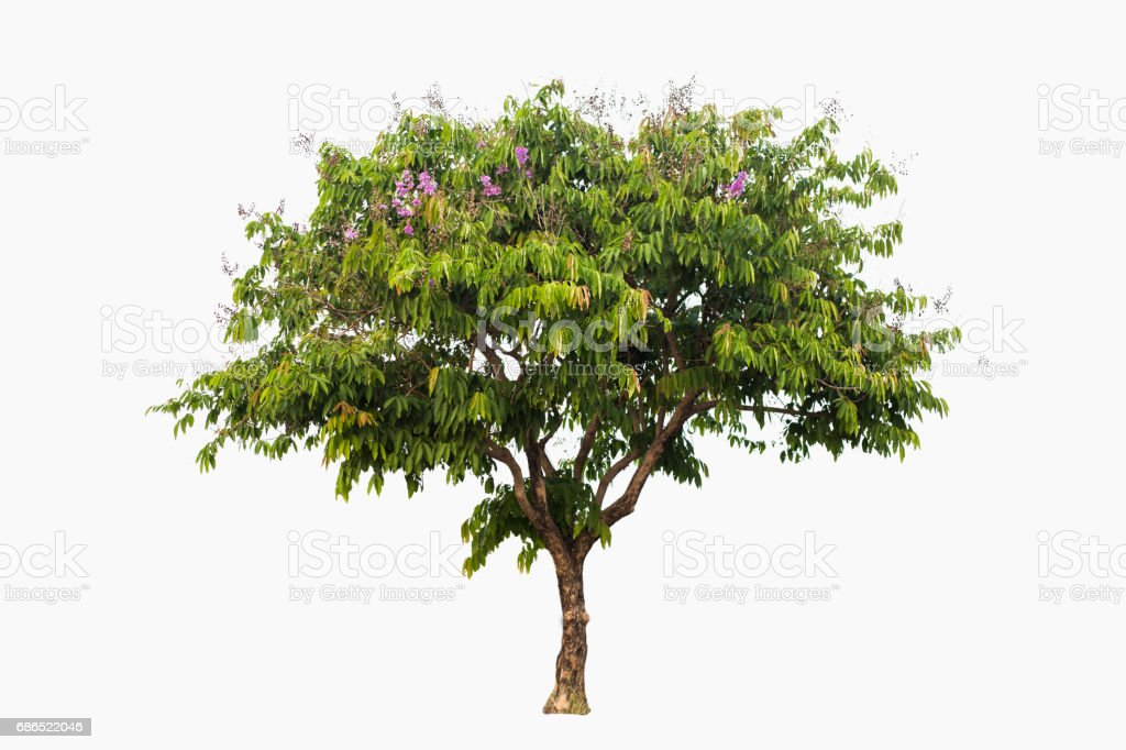 Beautiful green tree, with curved shape, isolated on white background. foto stock royalty-free