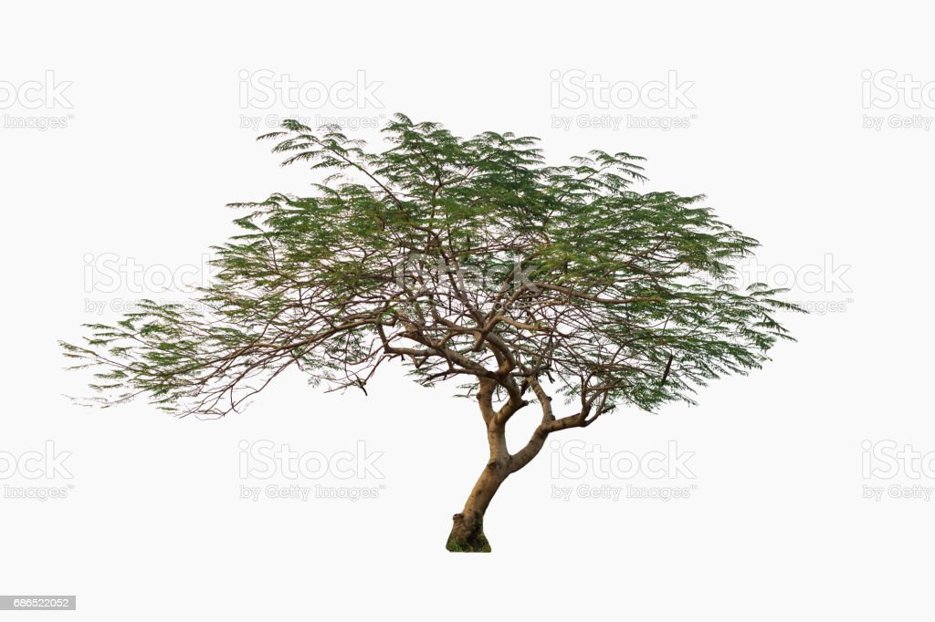 Beautiful green tree, with curved shape, isolated on white background. zbiór zdjęć royalty-free