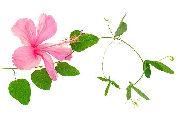 Schöne grüne Zweig der passionflower und pink Hibiskus, Nahaufnahme – Foto