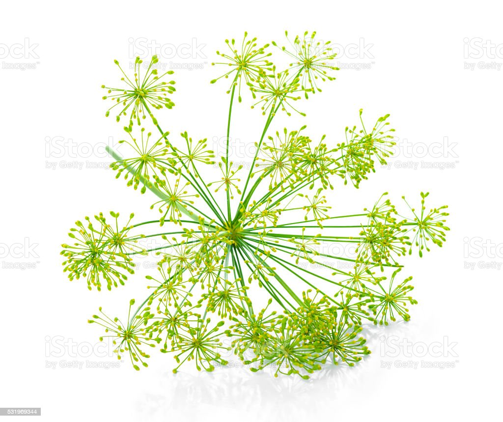 beautiful green umbrella mature dill is isolated stock photo
