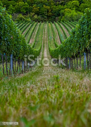 beautiful green vineyards rows at sunset time