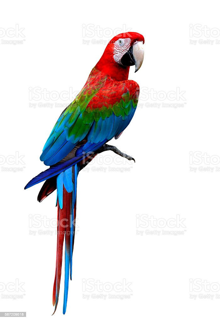 Beautiful Green-winged macaw bird standing on the floor isolated stock photo