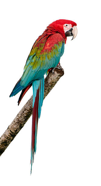 beautiful green-winged macaw parrot on a tree branch - green winged macaw stock photos and pictures