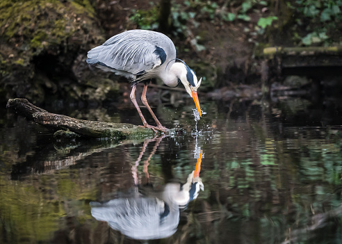 Beautiful grey blue large heron stood on log in lake fishing. \n\nBig colourful bird standing with long neck and beak looking down into pond water reflection hunting for food through clear reservoir surface.