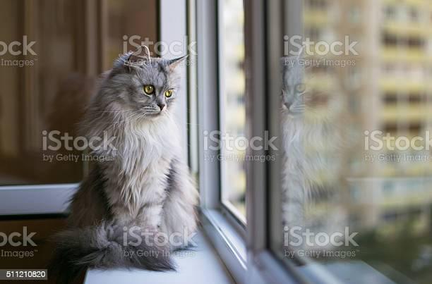 Beautiful grey cat sitting on windowsill and looking to a picture id511210820?b=1&k=6&m=511210820&s=612x612&h=h1ilsdh3t el2mudw2kych6j6j 47ebmrqrhihb0fyq=