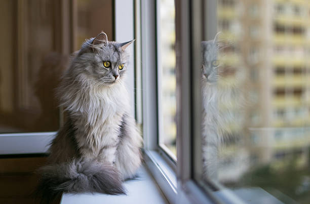 beautiful grey cat sitting on windowsill and looking to a - otämjd katt bildbanksfoton och bilder