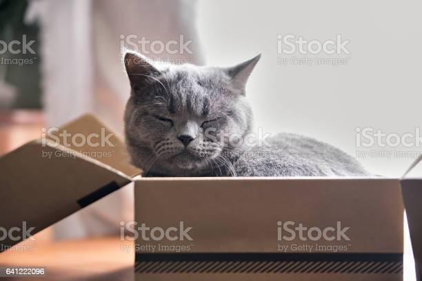 Beautiful grey cat sleeping in a box british shorthair kitten picture id641222096?b=1&k=6&m=641222096&s=612x612&h=phveqvbkjxqe bi0kl72tyg2byaja jcblmrtfqm8kg=