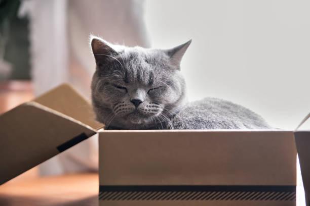 Beautiful grey cat sleeping in a box british shorthair kitten picture id641222096?b=1&k=6&m=641222096&s=612x612&w=0&h=kp78crywdmzuvvryouiqcqah2lnibiqodj3zorjt0fi=