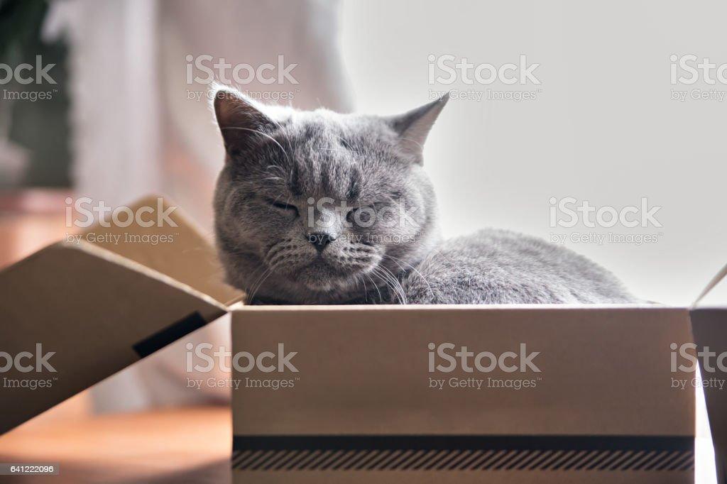 Beautiful grey cat sleeping in a box. British Shorthair kitten stock photo