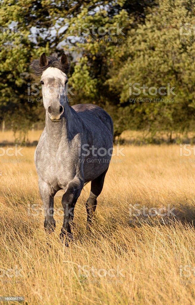Beautiful grey horse moving towards camera in field. royalty-free stock photo