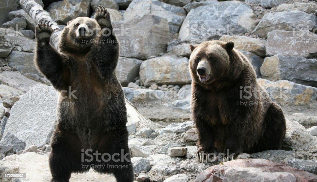 Schöne Grizzly Bären In Kanada Stock-Fotografie und mehr Bilder von ...