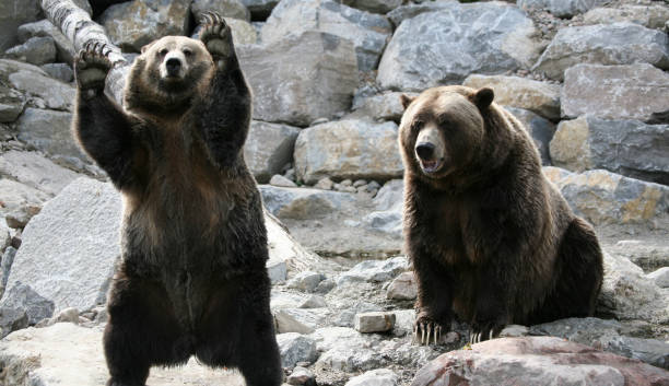 Beautiful Grizzly bears in Canada. stock photo