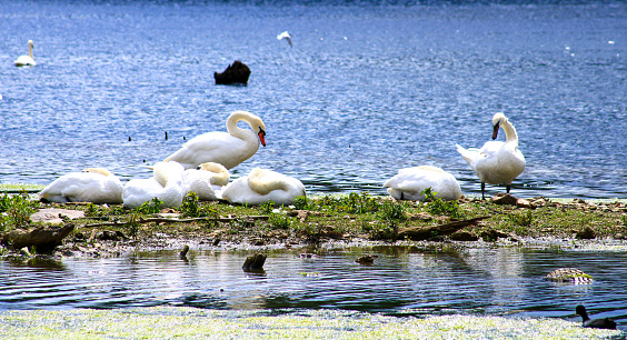 Large white waterfowl walking in a wild natural environment