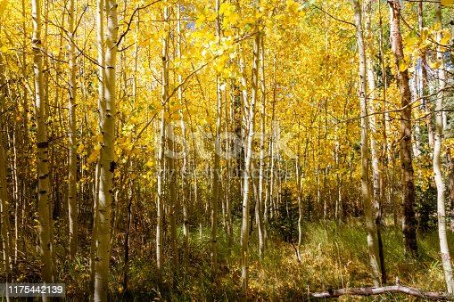 Beautiful grove of bright yellow aspen trees in the autumn.