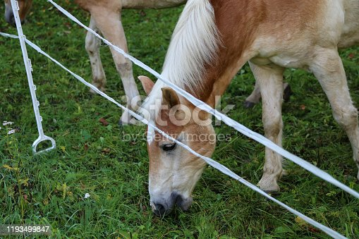 istock beautiful haflinger horse head portrait on the paddock 1193499847