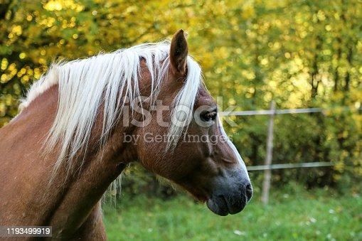istock beautiful haflinger horse head portrait on the paddock 1193499919