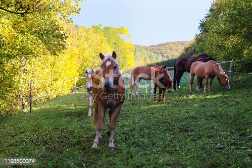istock beautiful haflinger horse head portrait on the paddock 1193500074
