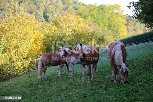 istock beautiful haflinger horse head portrait on the paddock 1193500115