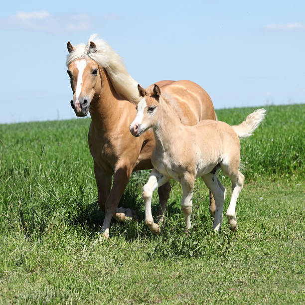 Beautiful haflinger mare with a foal Beautiful haflinger mare with a foal on pasturage palomino stock pictures, royalty-free photos & images