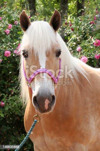 istock Beautiful Haflinger Pony 146835888
