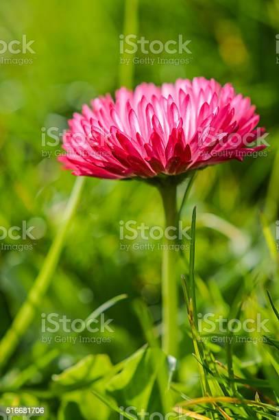 Photo of beautiful hairy red daisy