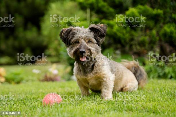 Beautiful happy dog with a ball sitting on the grass in the garden picture id1160146133?b=1&k=6&m=1160146133&s=612x612&h=gd4bjbwzp5qej7jcvivh7akwrc0lntuy3w24lihhgq0=