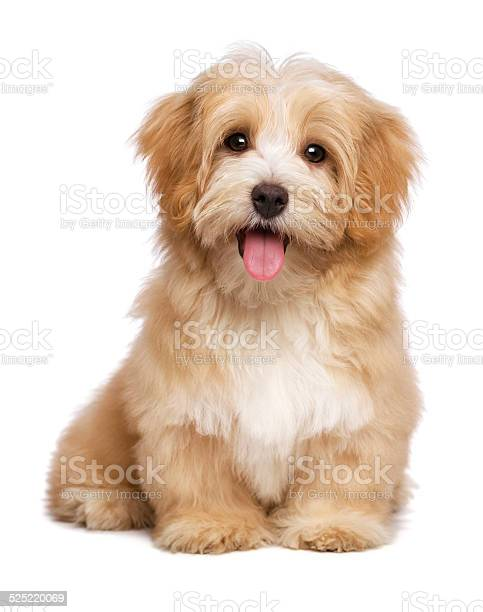 Beautiful happy reddish havanese puppy dog is sitting frontal picture id525220069?b=1&k=6&m=525220069&s=612x612&h=l3jvdo v4uctyhmpuj5g8fix3gvupgffhmfyost3l7o=