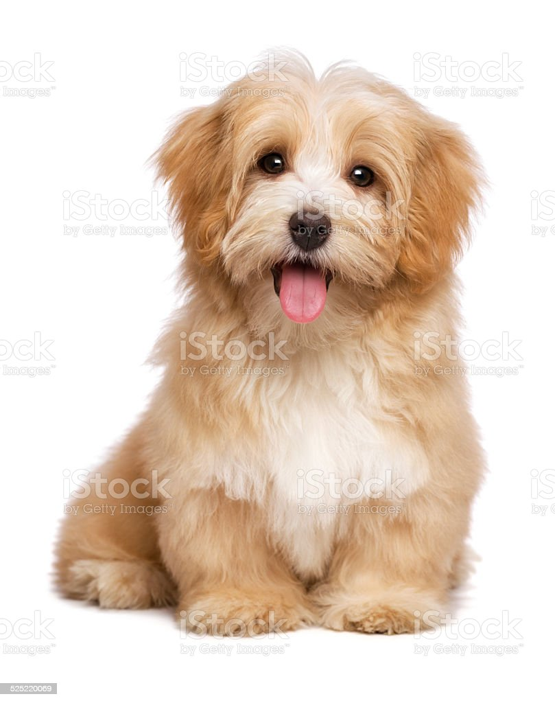 Beautiful happy reddish havanese puppy dog is sitting frontal stock photo