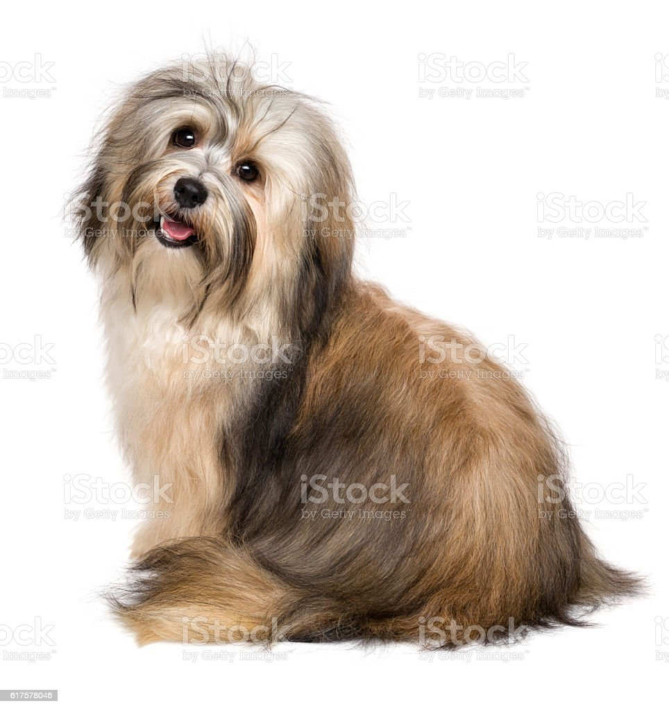 Beautiful happy young Bichon Havanese dog from behind stock photo