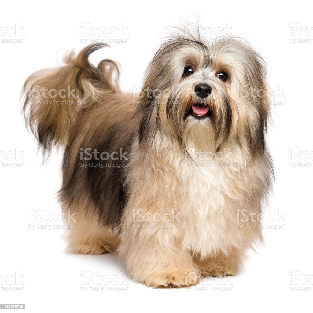 Beautiful happy young Bichon Havanese dog stock photo