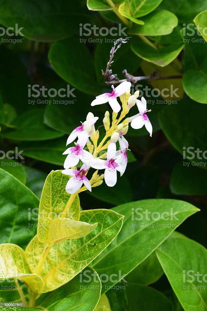 Beautiful Hawaiian Flower stock photo