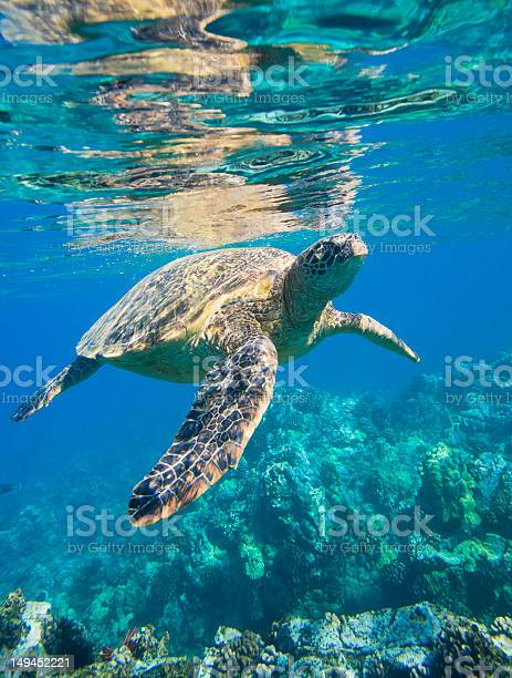 Beautiful hawaiian green sea turtle in shallow water picture id149452221?b=1&k=6&m=149452221&s=612x612&h=cp7uoxvt9y w2ovrwoamtuiu15q1jrhnut23bmngmni=