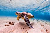 美しいハワイの海のアオウミガメ