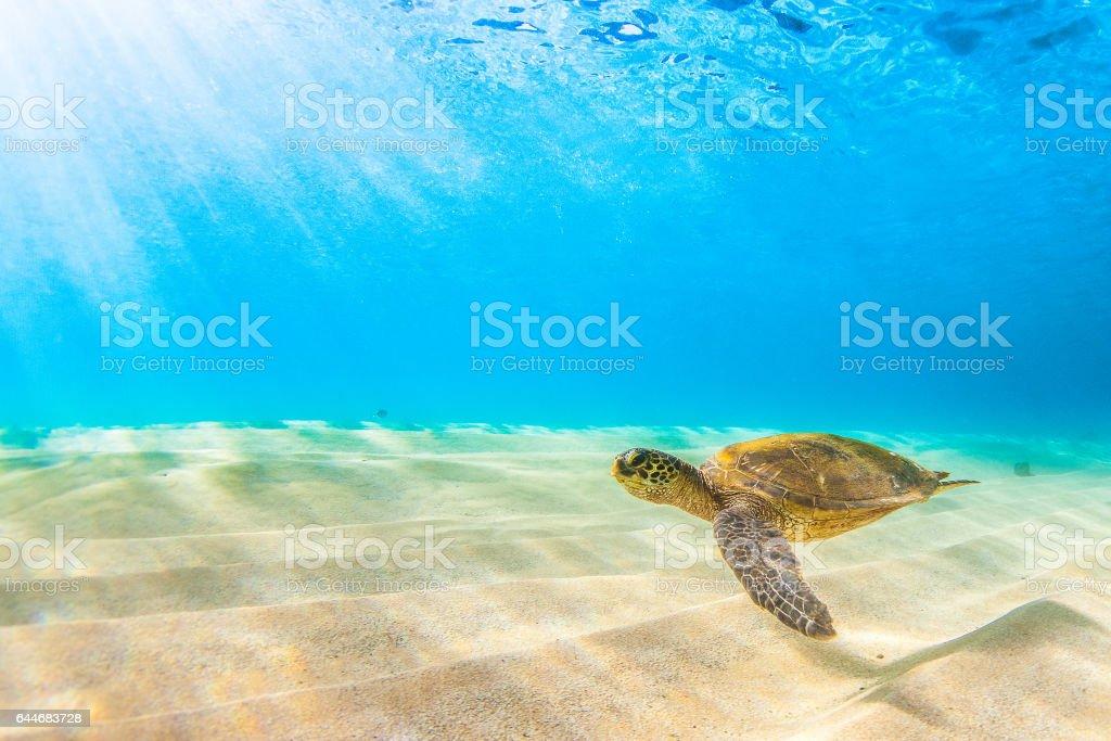 Beautiful Hawaiian Green Sea Turtle stock photo