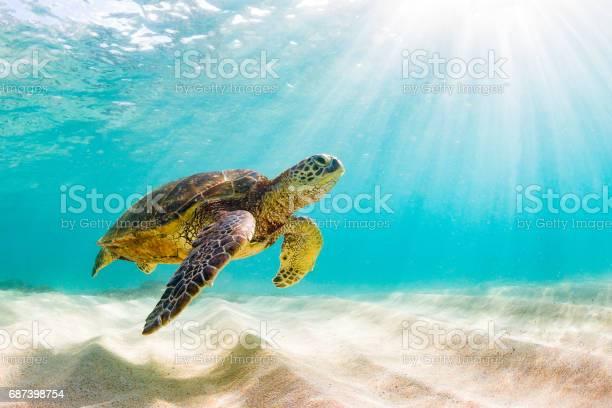 Beautiful hawaiian green sea turtle picture id687398754?b=1&k=6&m=687398754&s=612x612&h=tbbk3d9vte1lzcskej3hb2qxg nu9pmnijwx2hpew60=